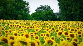 Lopburi solroslantgård Thailand arkivbilder