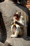 Lopburi, Tailandia: Mono que come maíz en Wat San Yot Foto de archivo libre de regalías