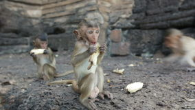 Lopburi, Tajlandia miasto bezpłatne małpy zdjęcie wideo