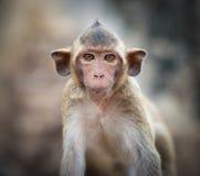 Lopburi Thaïlande Singe (Crabe-consommation ou macaque Long-coupé la queue) Photo stock