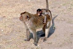 Lopburi, Thailand: Baby-Affe auf der Rückseite der Mutter Stockbilder