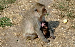 Lopburi, Thailand: Baby Monkey Nursing Royalty Free Stock Images