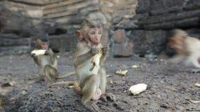 Lopburi, Thailand, de stad van vrije apen stock videobeelden
