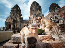 Lopburi Thailand. Monkey ( Crab-eating or Long-tailed macaque ) in Prang Sam Yot temple. Khmer ancient Buddhist pagoda ruins are famous thai tourist travel Royalty Free Stock Photo