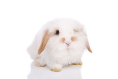 Lopeared bunny Royalty Free Stock Photography