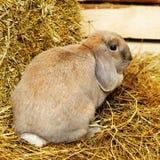 Lopearred兔子 图库摄影