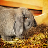 Lopearred兔子 免版税图库摄影