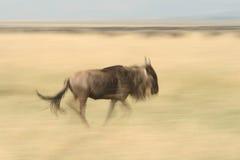 Lopen het meest wildebeest Stock Afbeeldingen