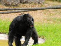 Lopen van de chimpansee, die terug eruit ziet Stock Foto's