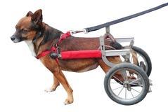Lopend geïsoleerde rolstoel van de wielen de achterhond royalty-vrije stock afbeeldingen