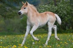 Lopend haflinger poneyveulen Royalty-vrije Stock Foto's