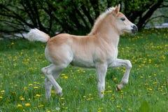 Lopend haflinger poneyveulen royalty-vrije stock afbeelding