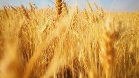 Lopend in het goud van het tarwegebied, die op oogstgebied lopen, landbouw, de landbouw stock videobeelden