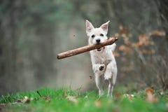 Lopend puppy Stock Afbeeldingen