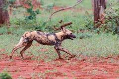 Lopende Afrikaanse wilde hond stock fotografie