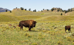 Lopende bizon Yellowstone Nationaal Park WY De V.S. Royalty-vrije Stock Afbeeldingen