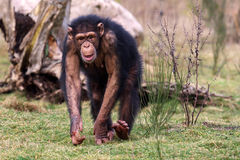 Lopende chimpansee Stock Foto