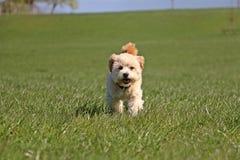 Lopende gemengde hond Royalty-vrije Stock Afbeelding