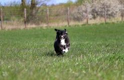 Lopende gemengde hond Royalty-vrije Stock Fotografie