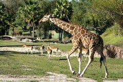 Lopende giraf Royalty-vrije Stock Afbeeldingen