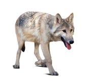 Lopende grijze wolf royalty-vrije stock foto's