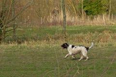 Lopende herdershond, die een bal in een groene weide achtervolgen royalty-vrije stock fotografie