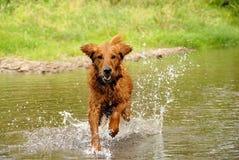 Lopende hond Royalty-vrije Stock Afbeeldingen