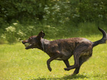 Lopende hond Stock Foto