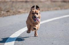 Lopende hond Royalty-vrije Stock Fotografie