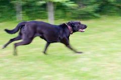 Lopende hond Royalty-vrije Stock Afbeelding