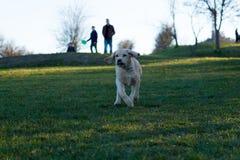 Lopende Hond! Royalty-vrije Stock Afbeeldingen