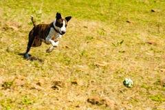 Lopende hond achter bal royalty-vrije stock fotografie