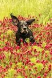 Lopende hond op het rode klavergebied Royalty-vrije Stock Afbeeldingen