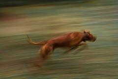 Lopende hond Rhodesian Ridgeback in motie Stock Afbeeldingen