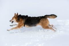 Lopende hond in sneeuw Royalty-vrije Stock Afbeeldingen