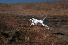 Lopende hond in weide-1 Stock Foto