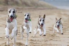 Lopende honden Royalty-vrije Stock Foto