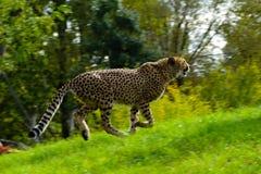 Lopende jachtluipaard Stock Afbeeldingen