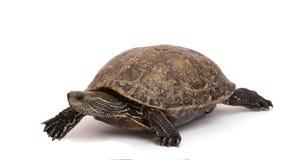 Lopende Kaspische schildpad Royalty-vrije Stock Foto