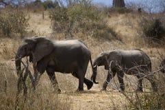 Lopende olifanten Royalty-vrije Stock Afbeeldingen