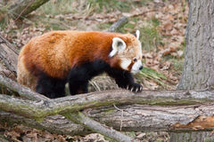 Lopende panda Stock Foto's