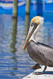 lopende pelikaan Stock Foto