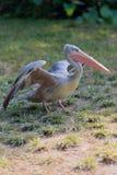 Lopende pelikaan Royalty-vrije Stock Foto's