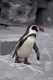 Lopende Pinguïn Stock Foto's
