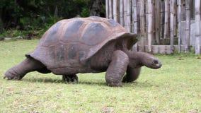 Lopende reusachtige schildpad Curieuseeiland, Seychellen stock videobeelden