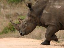 Lopende Rinoceros Royalty-vrije Stock Afbeeldingen