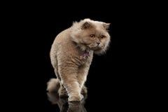 Lopende Schotse Cat Curiosity Looking op Zwarte Achtergrond royalty-vrije stock afbeelding