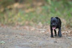Lopende staffordshire bull terrier hond stock afbeelding