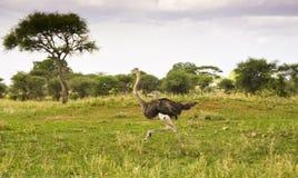Lopende struisvogel in savanne Royalty-vrije Stock Foto