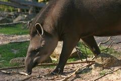 Lopende tapir Royalty-vrije Stock Afbeeldingen